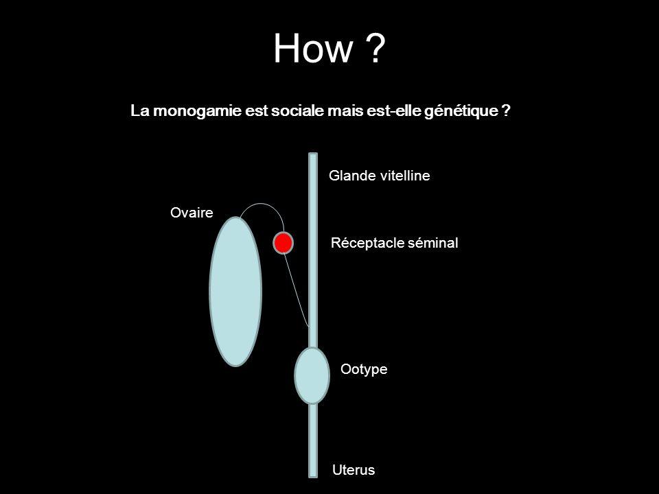 La monogamie est sociale mais est-elle génétique ? Uterus Ootype Glande vitelline Ovaire Réceptacle séminal