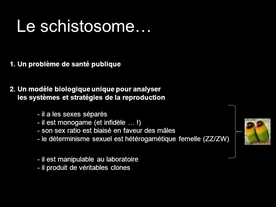 Le schistosome… 1. Un problème de santé publique 2. Un modèle biologique unique pour analyser les systèmes et stratégies de la reproduction - il a les