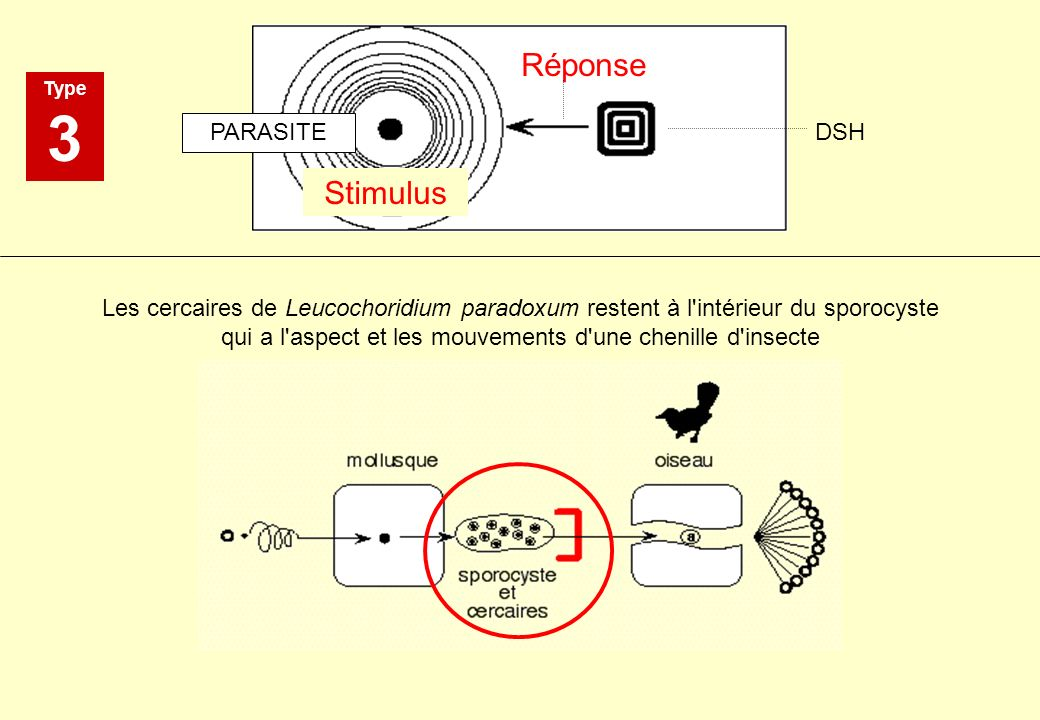 Stimulus Réponse PARASITE DSH Type 3 Les cercaires de Leucochoridium paradoxum restent à l'intérieur du sporocyste qui a l'aspect et les mouvements d'