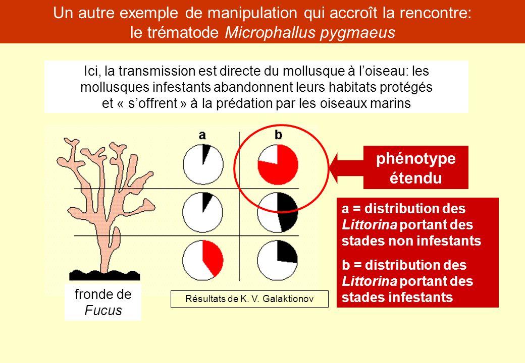 Un autre exemple de manipulation qui accroît la rencontre: le trématode Microphallus pygmaeus Ici, la transmission est directe du mollusque à loiseau:
