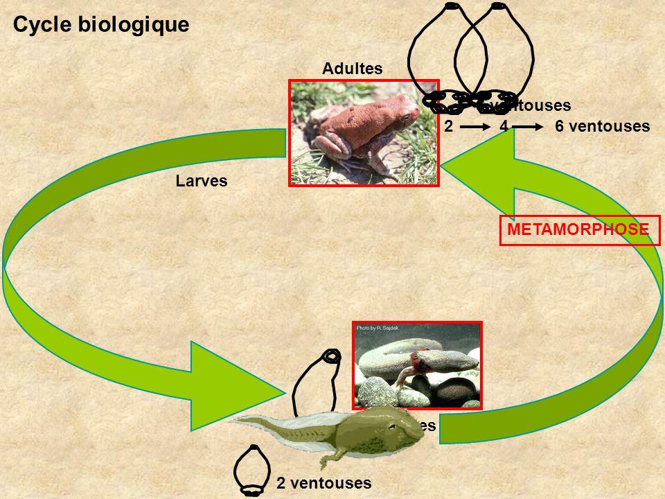Larves Adultes METAMORPHOSE Cycle biologique 2 4 6 ventouses 2 ventouses 6 ventouses 2 ventouses