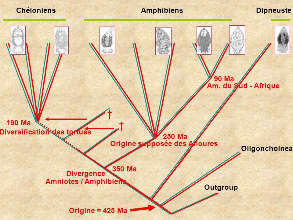 Outgroup 250 Ma 350 Ma Divergence 190 Ma Diversification des tortues Origine = 425 Ma Amniotes / Amphibiens Origine supposée des Anoures Chéloniens Am