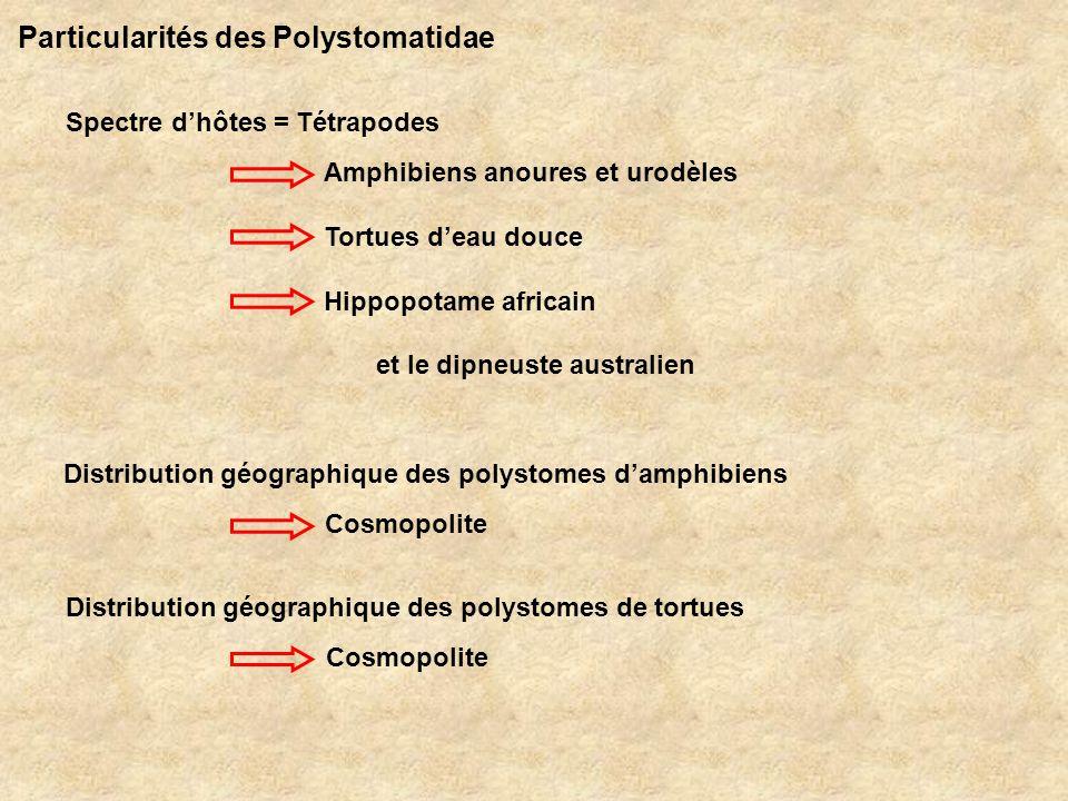 Particularités des Polystomatidae (suite) Forte spécificité au niveau des hôtes au niveau du site dinfestation Cycle biologique Une espèce hôte amphibien = une espèce parasite…
