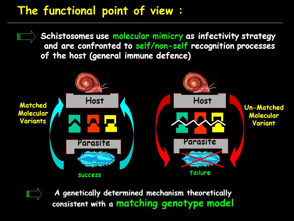 The functional point of view : Schistosomes use molecular mimicry as infectivity strategy and are confronted to self/non-self recognition processes of