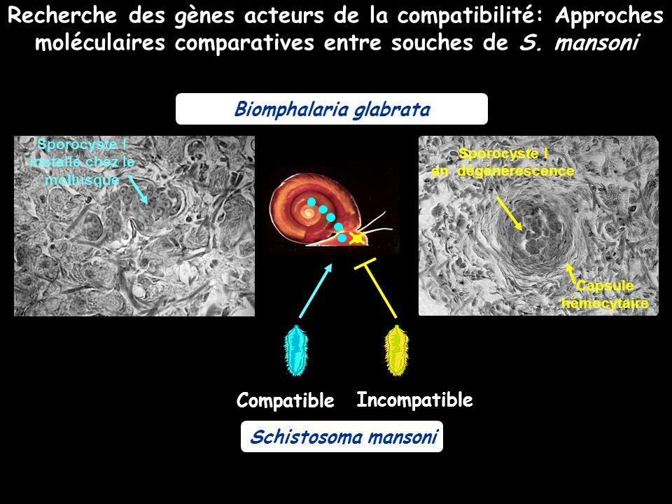 Biomphalaria glabrata Schistosoma mansoni Incompatible Compatible Recherche des gènes acteurs de la compatibilité: Approches moléculaires comparatives