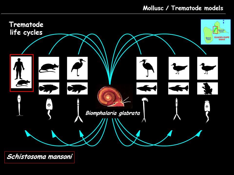 Mollusc / Trematode models Adults Egg Miracidium Cercariae Schistosome life cycle Schistosoma mansoni Biomphalaria glabrata