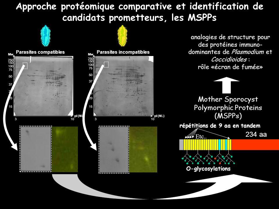 Approche protéomique comparative et identification de candidats prometteurs, les MSPPs 250 150 100 75 50 37 25 20 15 Mw pI (NL) 3 10 250 150 100 75 50