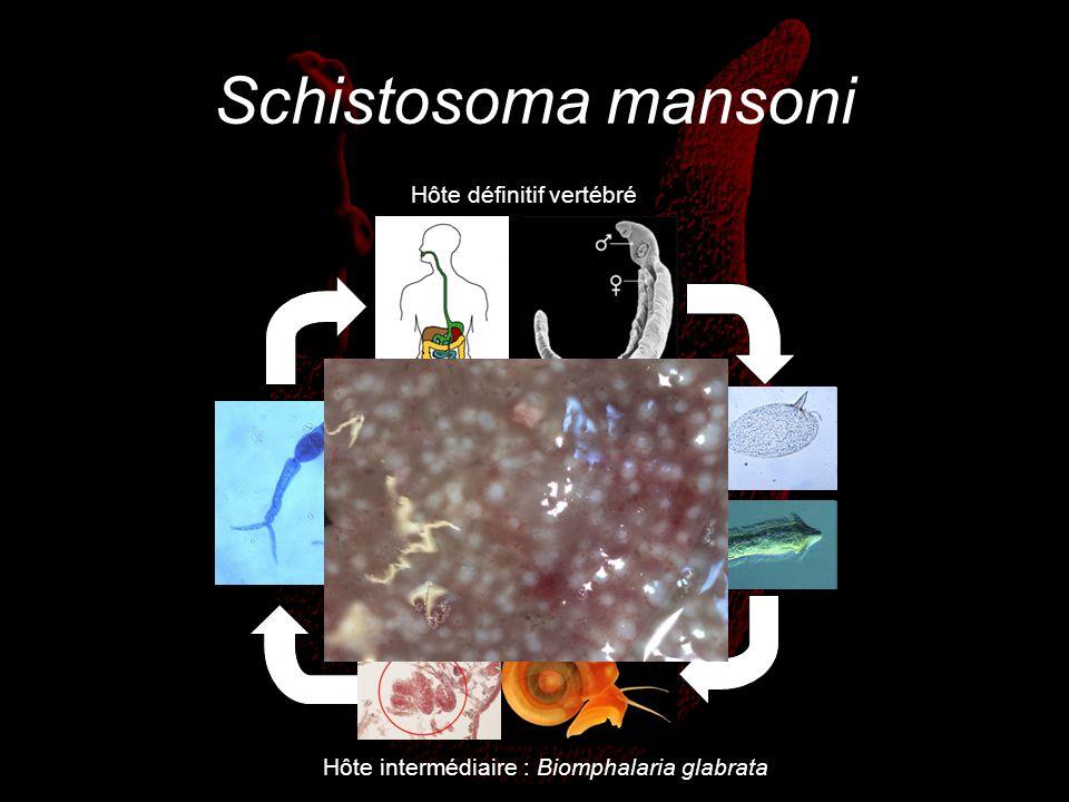 Schistosoma mansoni Hôte définitif vertébré Hôte intermédiaire : Biomphalaria glabrata