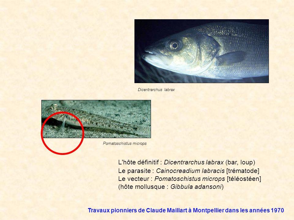L'hôte définitif : Dicentrarchus labrax (bar, loup) Le parasite : Cainocreadium labracis [trématode] Le vecteur : Pomatoschistus microps [téléostéen]