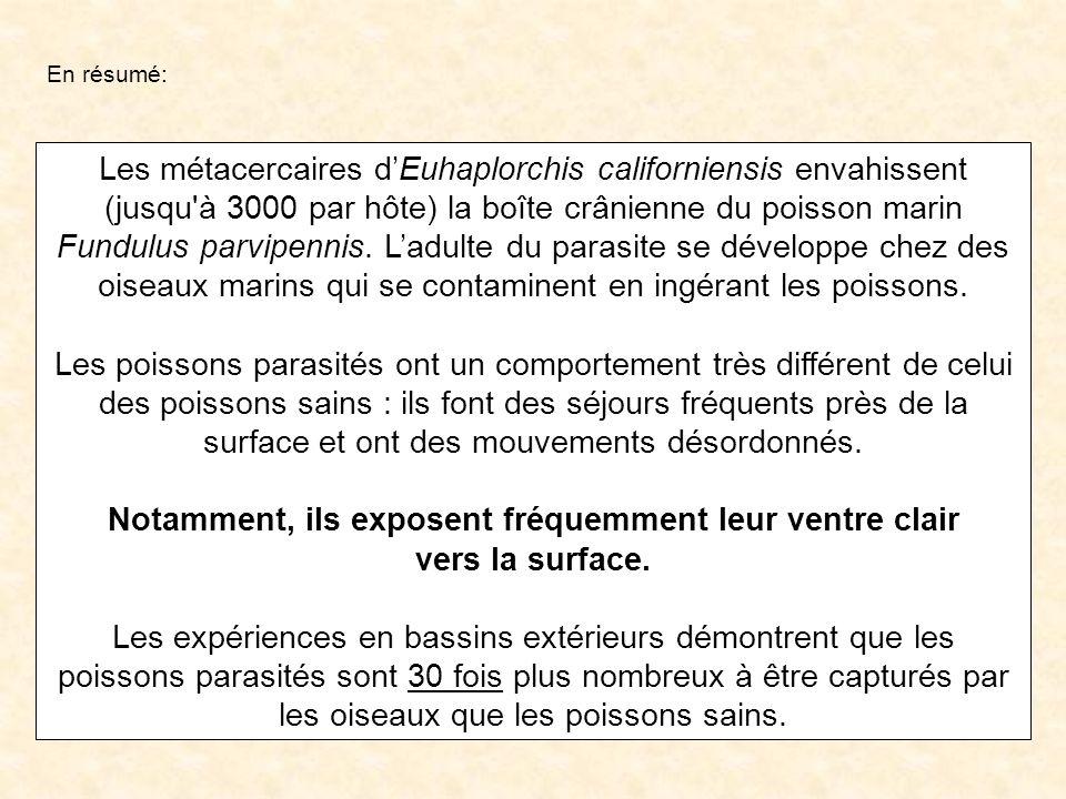 Les métacercaires dEuhaplorchis californiensis envahissent (jusqu'à 3000 par hôte) la boîte crânienne du poisson marin Fundulus parvipennis. Ladulte d