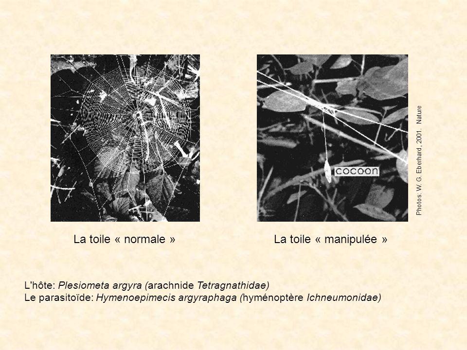 La toile « normale »La toile « manipulée » Photos: W. G. Eberhard, 2001. Nature L'hôte: Plesiometa argyra (arachnide Tetragnathidae) Le parasitoïde: H