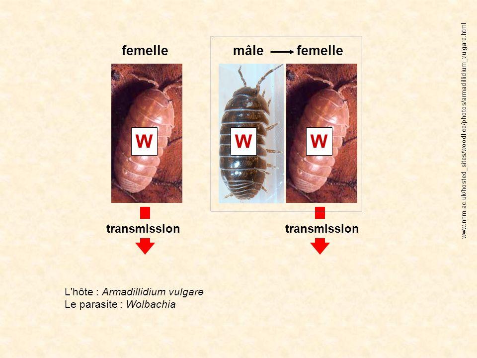 WWW femelle mâle transmission L'hôte : Armadillidium vulgare Le parasite : Wolbachia www.nhm.ac.uk/hosted_sites/woodlice/photos/armadillidium_vulgare.