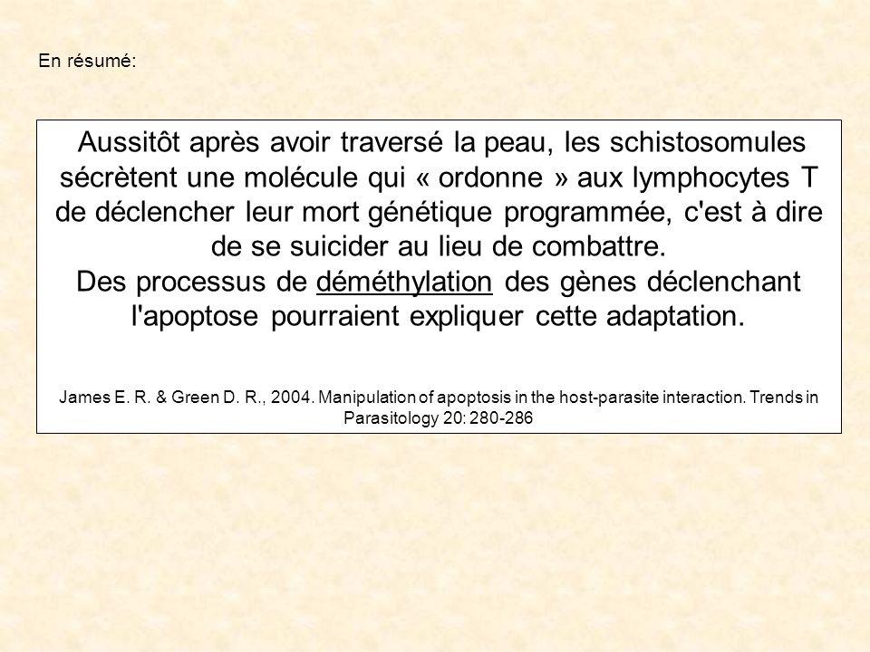 Aussitôt après avoir traversé la peau, les schistosomules sécrètent une molécule qui « ordonne » aux lymphocytes T de déclencher leur mort génétique p