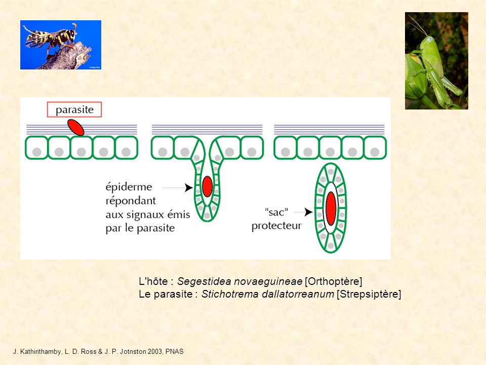 L'hôte : Segestidea novaeguineae [Orthoptère] Le parasite : Stichotrema dallatorreanum [Strepsiptère] J. Kathirithamby, L. D. Ross & J. P. Jotnston 20