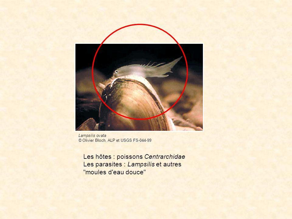 L hôte définitif : Dicentrarchus labrax (bar, loup) Le parasite : Cainocreadium labracis [trématode] Le vecteur : Pomatoschistus microps [téléostéen] (hôte mollusque : Gibbula adansoni) Dicentrarchus labrax Pomatoschistus microps Travaux pionniers de Claude Maillart à Montpellier dans les années 1970