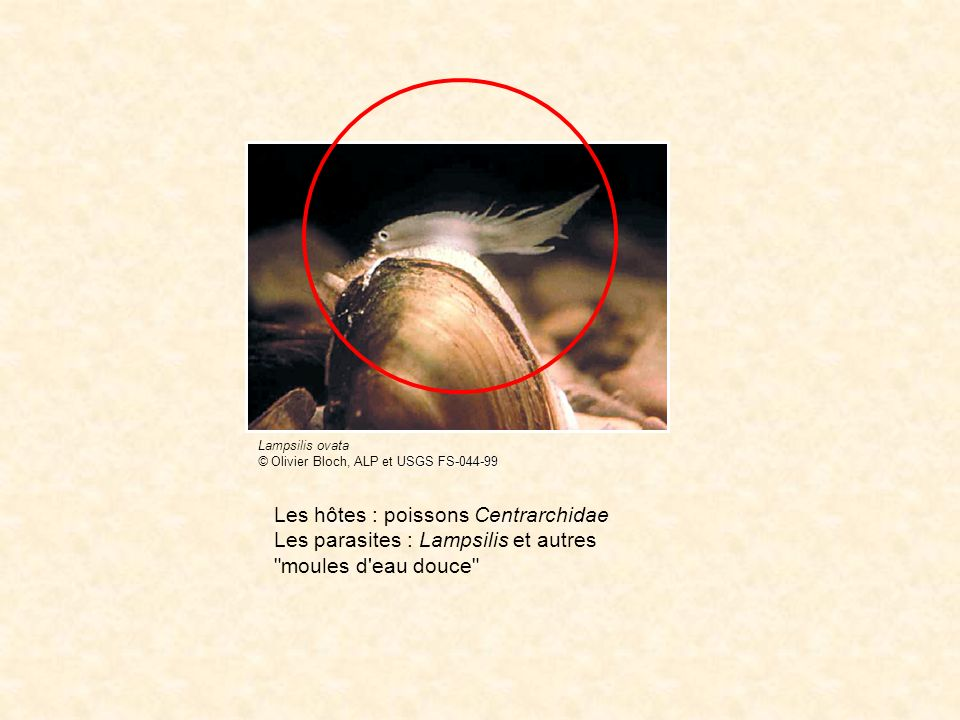 WWW femelle mâle transmission L hôte : Armadillidium vulgare Le parasite : Wolbachia www.nhm.ac.uk/hosted_sites/woodlice/photos/armadillidium_vulgare.html
