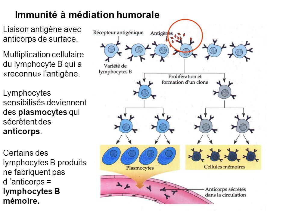 Liaison antigène avec anticorps de surface. Multiplication cellulaire du lymphocyte B qui a «reconnu» lantigène. Lymphocytes sensibilisés deviennent d