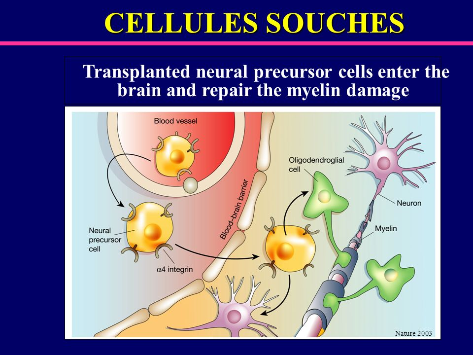 CELLULES SOUCHES Transplanted neural precursor cells enter the brain and repair the myelin damage Nature 2003