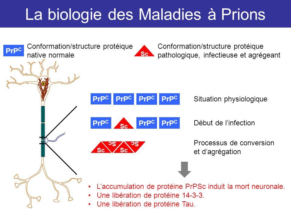 La biologie des Maladies à Prions PrP C Situation physiologique PrP C Sc Début de linfection Processus de conversion et dagrégation PrP C Sc Conformat
