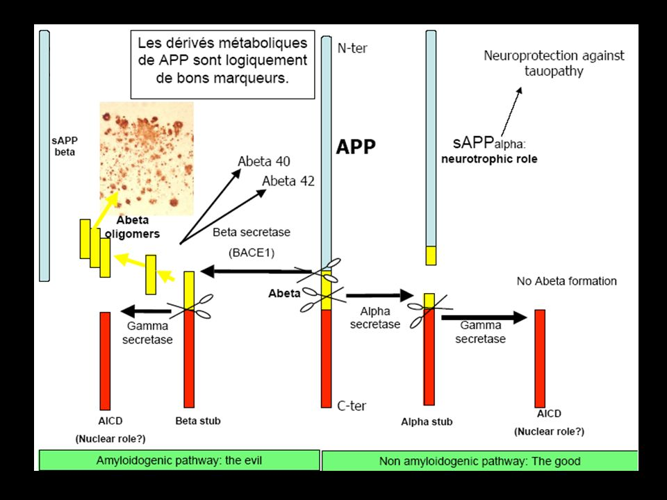 Les protéines Tau et pTau Accumulation pTau sous forme de fibrilles Perturbation de fonctionnement de laxone Mort neuronale Kinase Phosphatase Microtubules Phosphorylation de Tau Dépolymérisation des microtubules