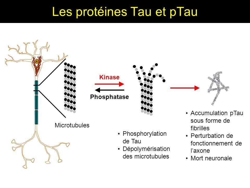 Les protéines Tau et pTau Accumulation pTau sous forme de fibrilles Perturbation de fonctionnement de laxone Mort neuronale Kinase Phosphatase Microtu
