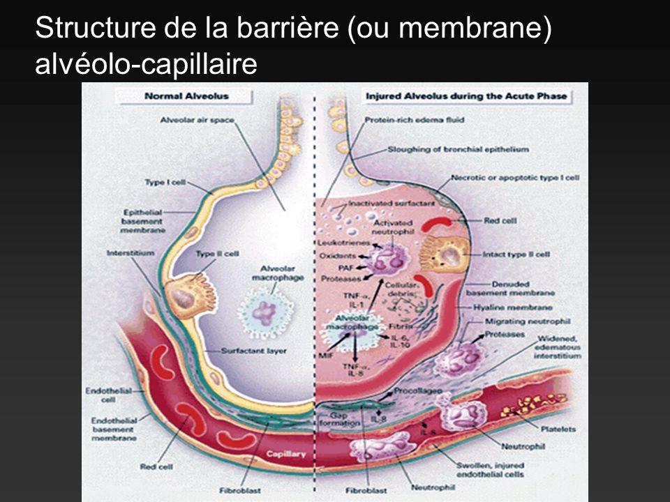 Structure de la barrière (ou membrane) alvéolo-capillaire