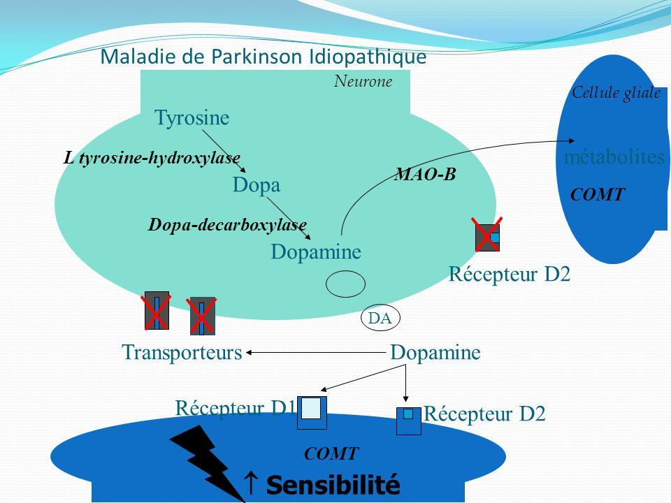 Maladie de Parkinson Idiopathique Cellule gliale Tyrosine Dopa Dopamine Dopa-decarboxylase L tyrosine-hydroxylase Dopamine COMT Récepteur D2 Récepteur
