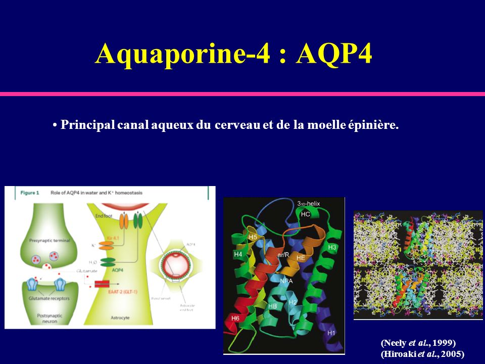 Aquaporine-4 : AQP4 Principal canal aqueux du cerveau et de la moelle épinière. (Neely et al., 1999) (Hiroaki et al., 2005)