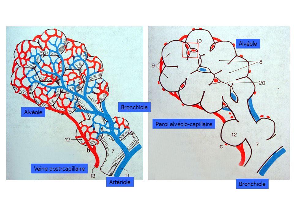 Alvéole Paroi alvéolo-capillaire Bronchiole Alvéole Bronchiole Artériole Veine post-capillaire