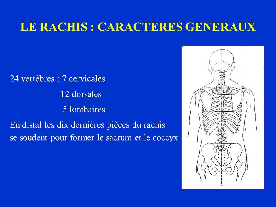 LE RACHIS : CARACTERES GENERAUX 24 vertèbres : 7 cervicales 12 dorsales 5 lombaires En distal les dix dernières pièces du rachis se soudent pour forme
