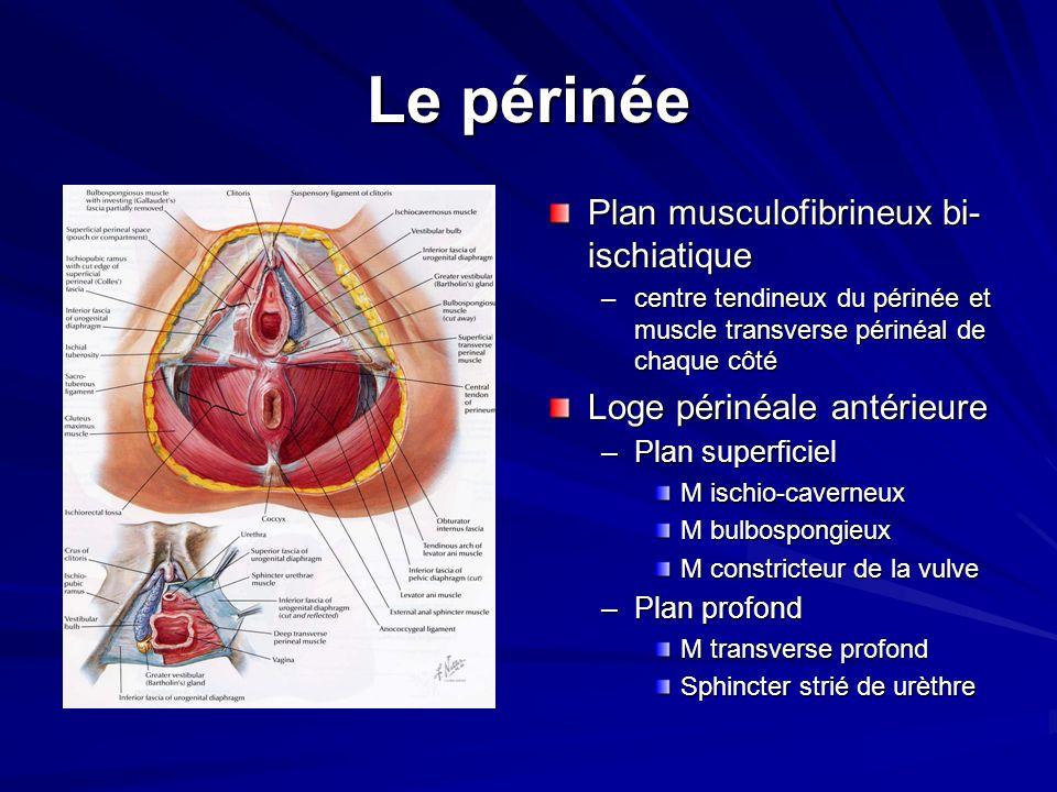 Le périnée Plan musculofibrineux bi- ischiatique –centre tendineux du périnée et muscle transverse périnéal de chaque côté Loge périnéale antérieure –