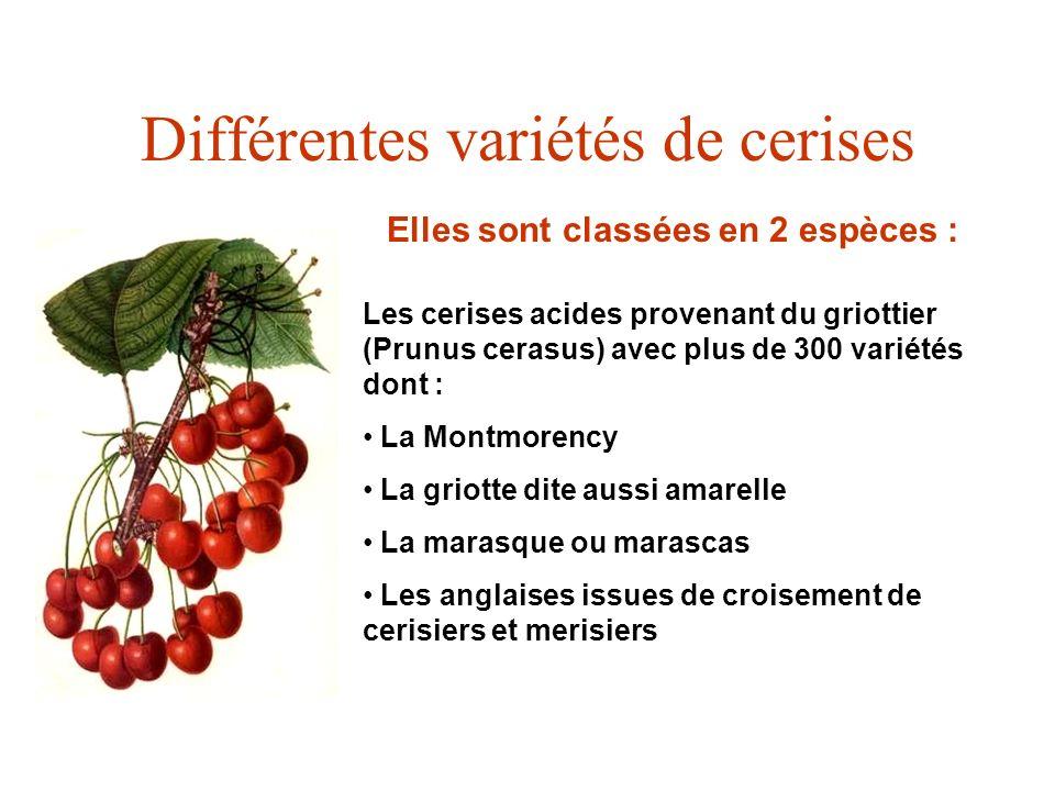 Différentes variétés de cerises Elles sont classées en 2 espèces : Les cerises acides provenant du griottier (Prunus cerasus) avec plus de 300 variété