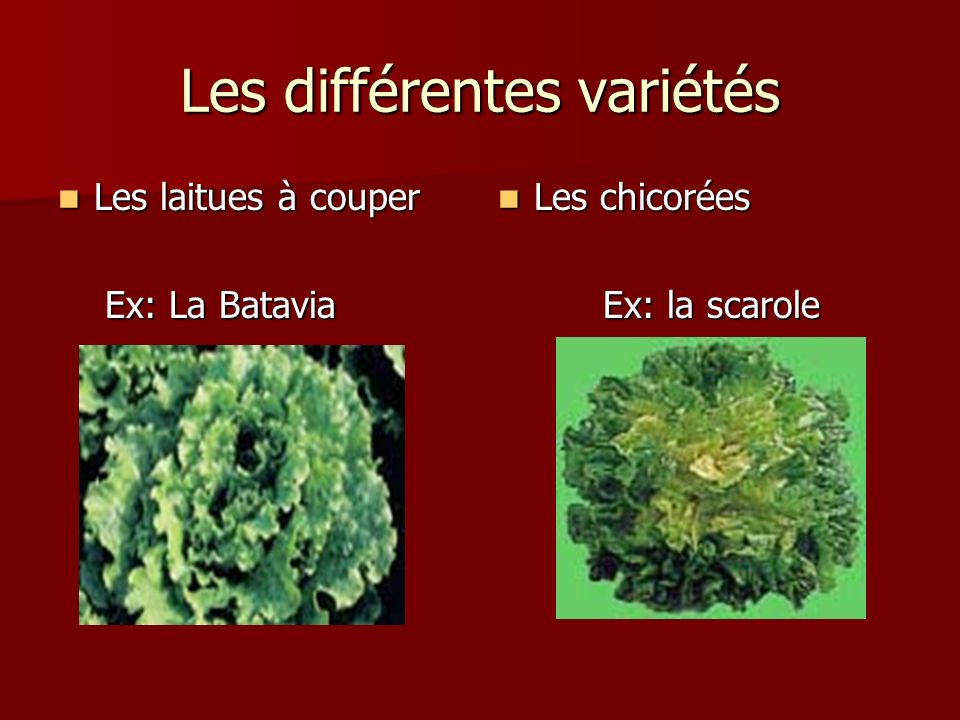Les différentes variétés Les laitues à couper Les laitues à couper Ex: La Batavia Ex: La Batavia Les chicorées Les chicorées Ex: la scarole Ex: la sca