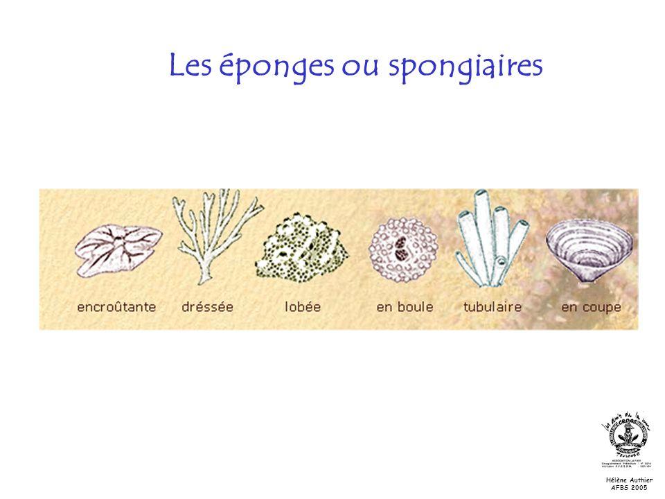 Les éponges ou spongiaires Hélène Authier AFBS 2005