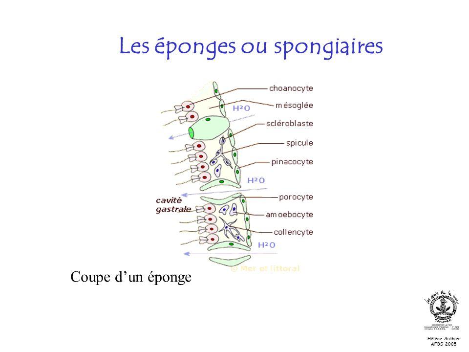 Les éponges ou spongiaires Coupe dun éponge Hélène Authier AFBS 2005