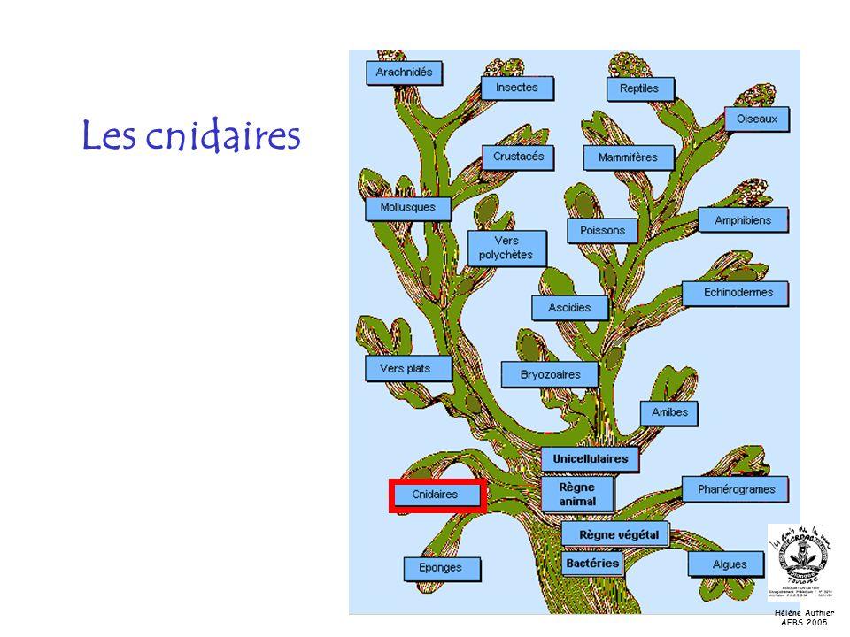 Les cnidaires Hélène Authier AFBS 2005