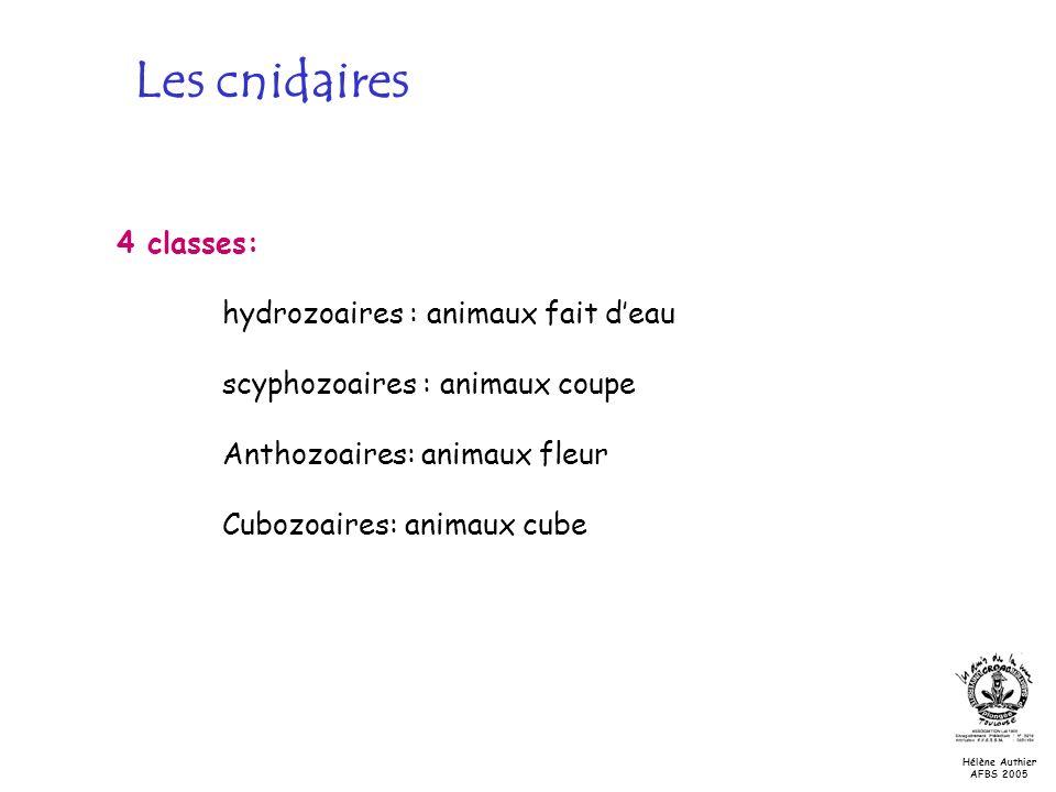 Les cnidaires 4 classes: hydrozoaires : animaux fait deau scyphozoaires : animaux coupe Anthozoaires: animaux fleur Cubozoaires: animaux cube Hélène A