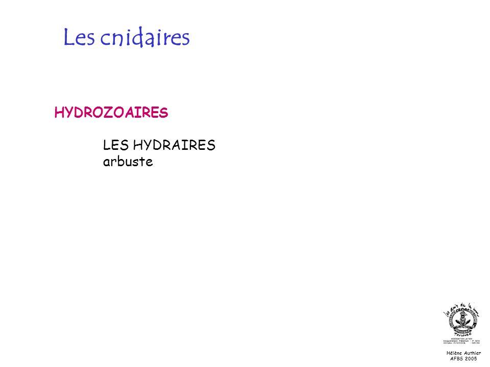 Les cnidaires HYDROZOAIRES LES HYDRAIRES arbuste Hélène Authier AFBS 2005