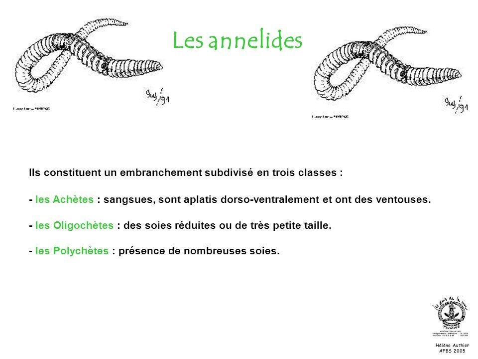 Les annelides Ils constituent un embranchement subdivisé en trois classes : - les Achètes : sangsues, sont aplatis dorso-ventralement et ont des vento