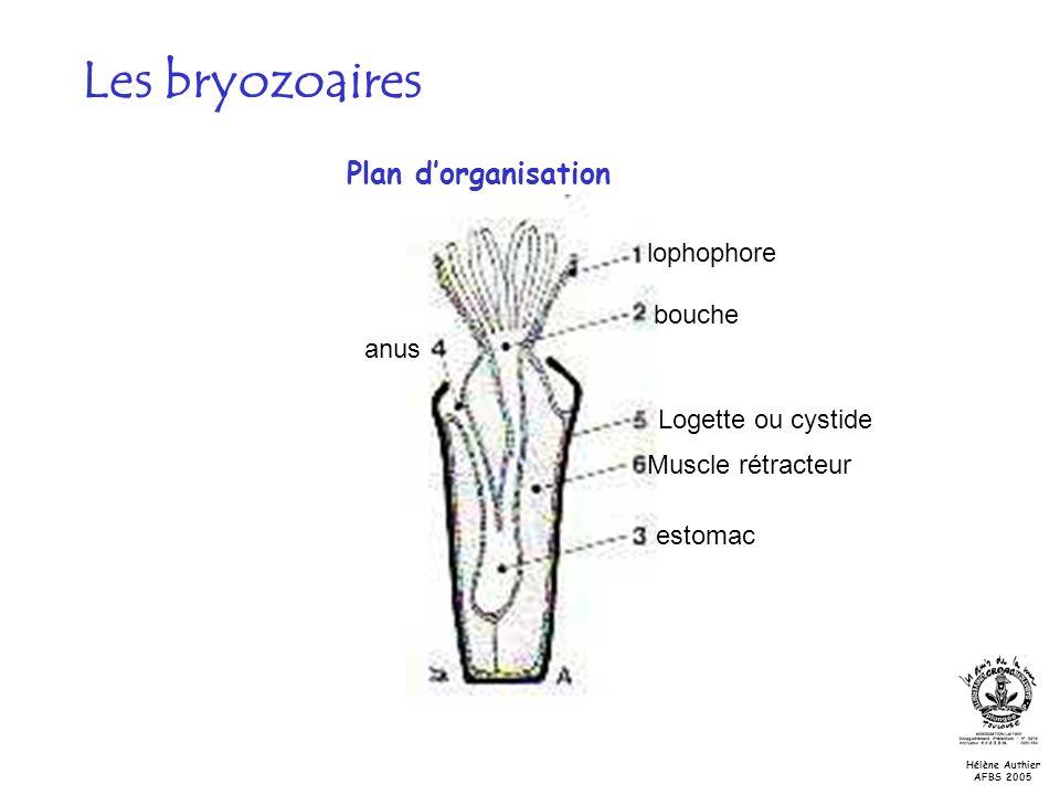 lophophore bouche Logette ou cystide anus Muscle rétracteur estomac Les bryozoaires Plan dorganisation Hélène Authier AFBS 2005