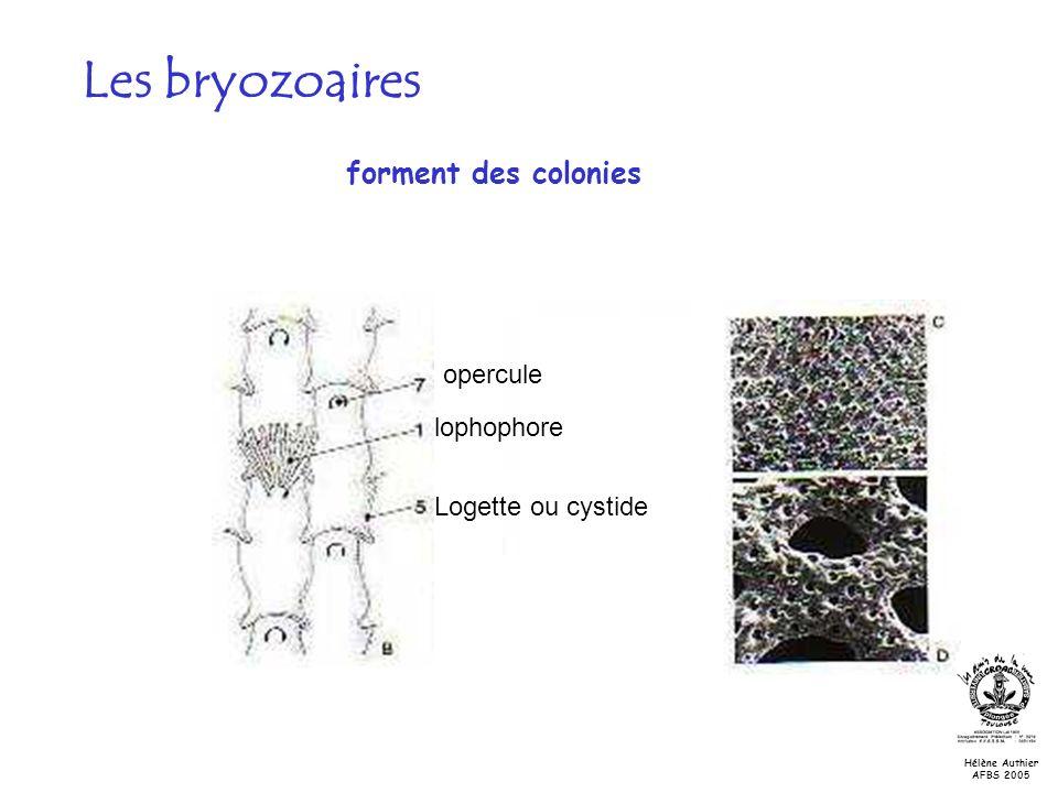 lophophore Logette ou cystide opercule Les bryozoaires forment des colonies Hélène Authier AFBS 2005