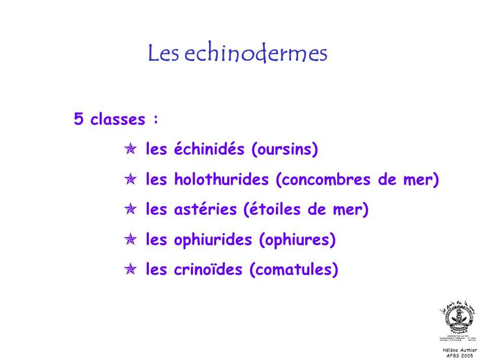 5 classes : les échinidés (oursins) les holothurides (concombres de mer) les astéries (étoiles de mer) les ophiurides (ophiures) les crinoïdes (comatu