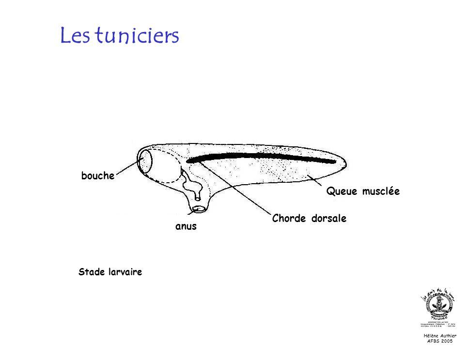 Les tuniciers Stade larvaire bouche anus Chorde dorsale Queue musclée Hélène Authier AFBS 2005