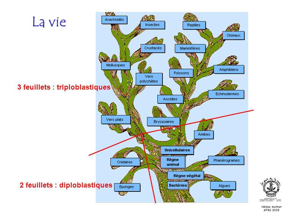 Les tuniciers Schéma général dune ascidie tunique Orifice inhalant ou siphon buccal Orifice exhalant ou siphon cloacal pharynx estomac Hélène Authier AFBS 2005