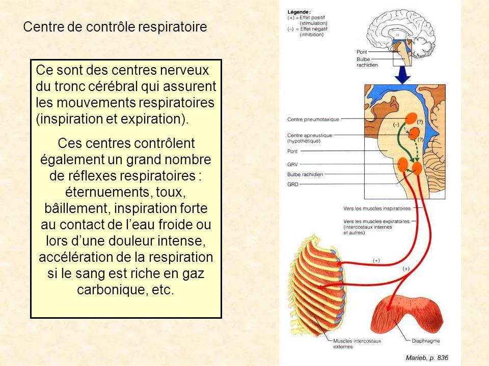 Centre de contrôle respiratoire Ce sont des centres nerveux du tronc cérébral qui assurent les mouvements respiratoires (inspiration et expiration).