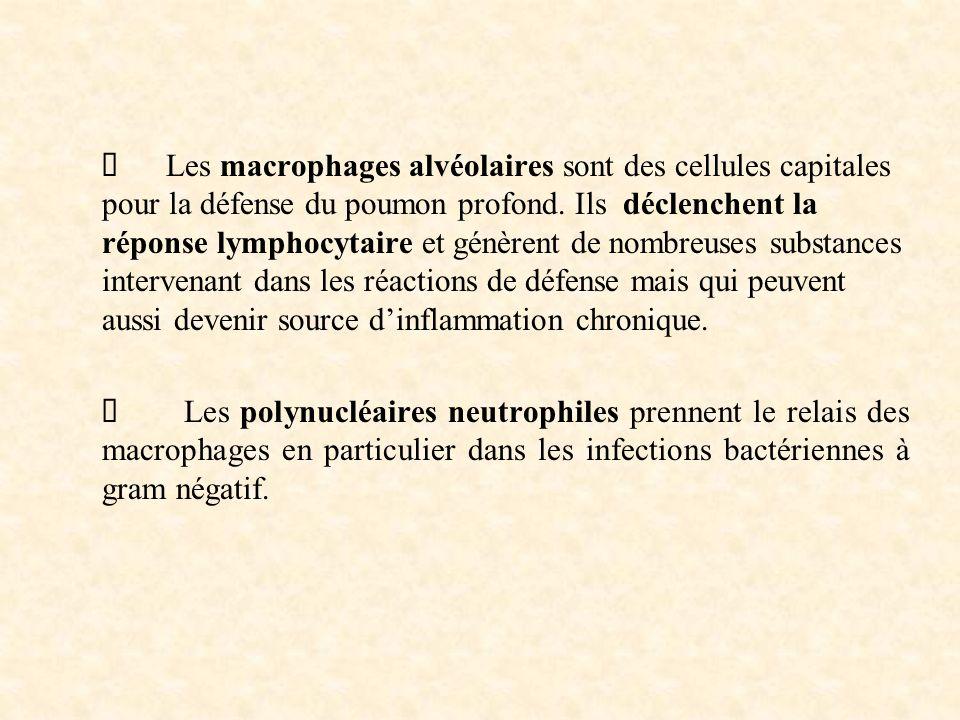 Les macrophages alvéolaires sont des cellules capitales pour la défense du poumon profond.