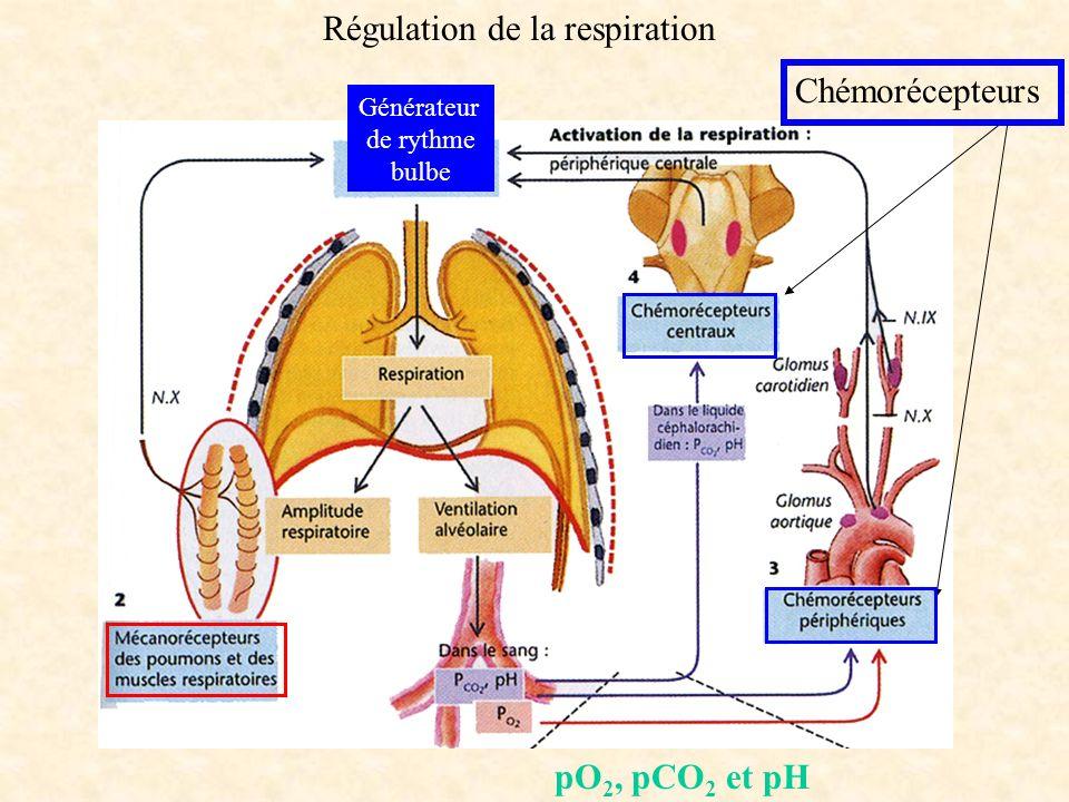 Générateur de rythme bulbe Régulation de la respiration Chémorécepteurs pO 2, pCO 2 et pH
