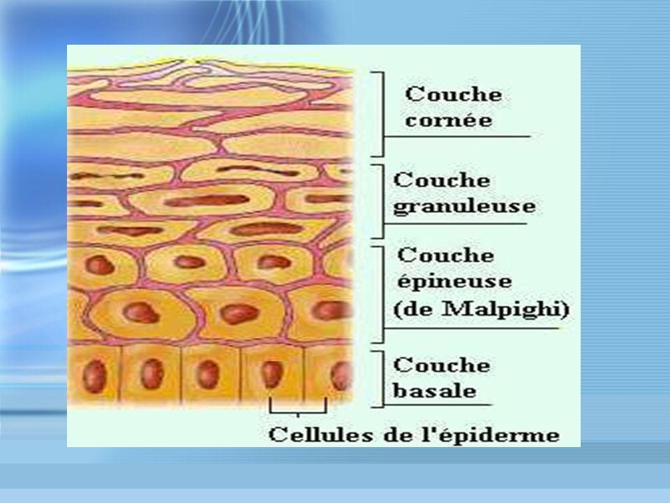 HISTOLOGIE : DERME Couche intermédiaire Tissu de soutien Compressible, extensible, élastique Tissu conjonctif : fibres de collagène et fibres élastiques Fibroblastes Réseau vasculaire et nerveux Couche intermédiaire Tissu de soutien Compressible, extensible, élastique Tissu conjonctif : fibres de collagène et fibres élastiques Fibroblastes Réseau vasculaire et nerveux
