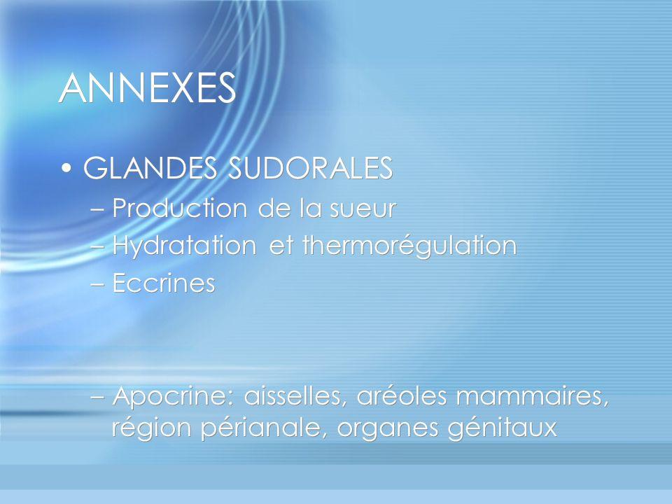 ANNEXES GLANDES SUDORALES –Production de la sueur –Hydratation et thermorégulation –Eccrines –Apocrine: aisselles, aréoles mammaires, région périanale, organes génitaux GLANDES SUDORALES –Production de la sueur –Hydratation et thermorégulation –Eccrines –Apocrine: aisselles, aréoles mammaires, région périanale, organes génitaux