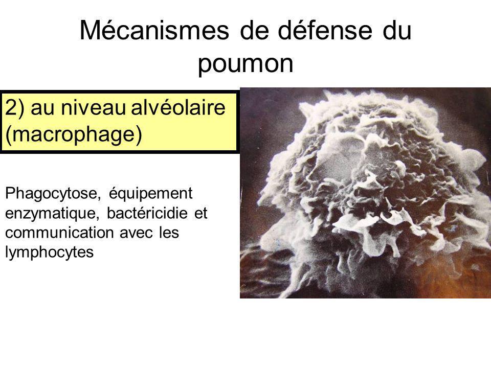2) au niveau alvéolaire (macrophage) Phagocytose, équipement enzymatique, bactéricidie et communication avec les lymphocytes Mécanismes de défense du